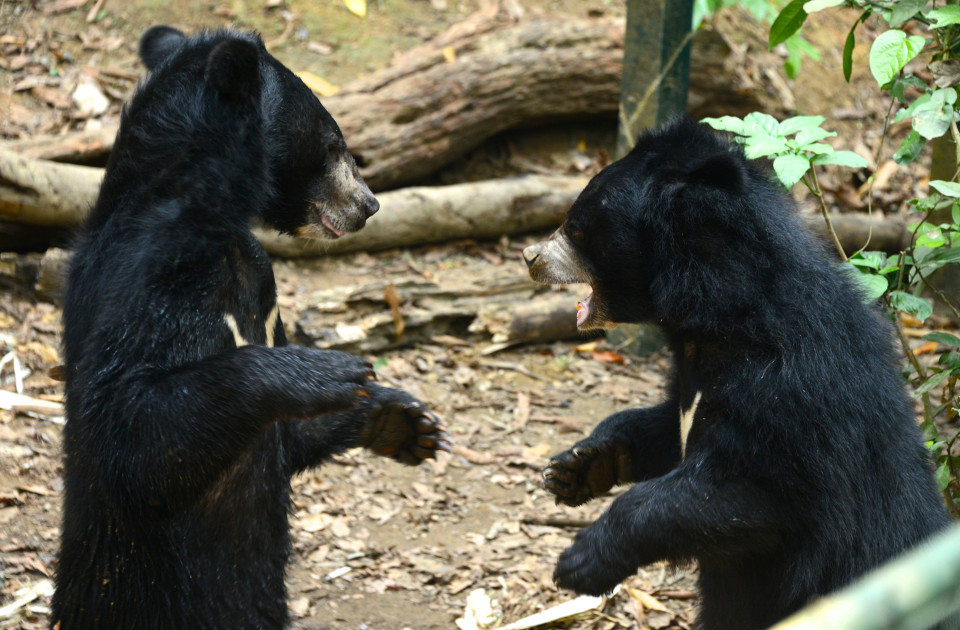 Bears at play.