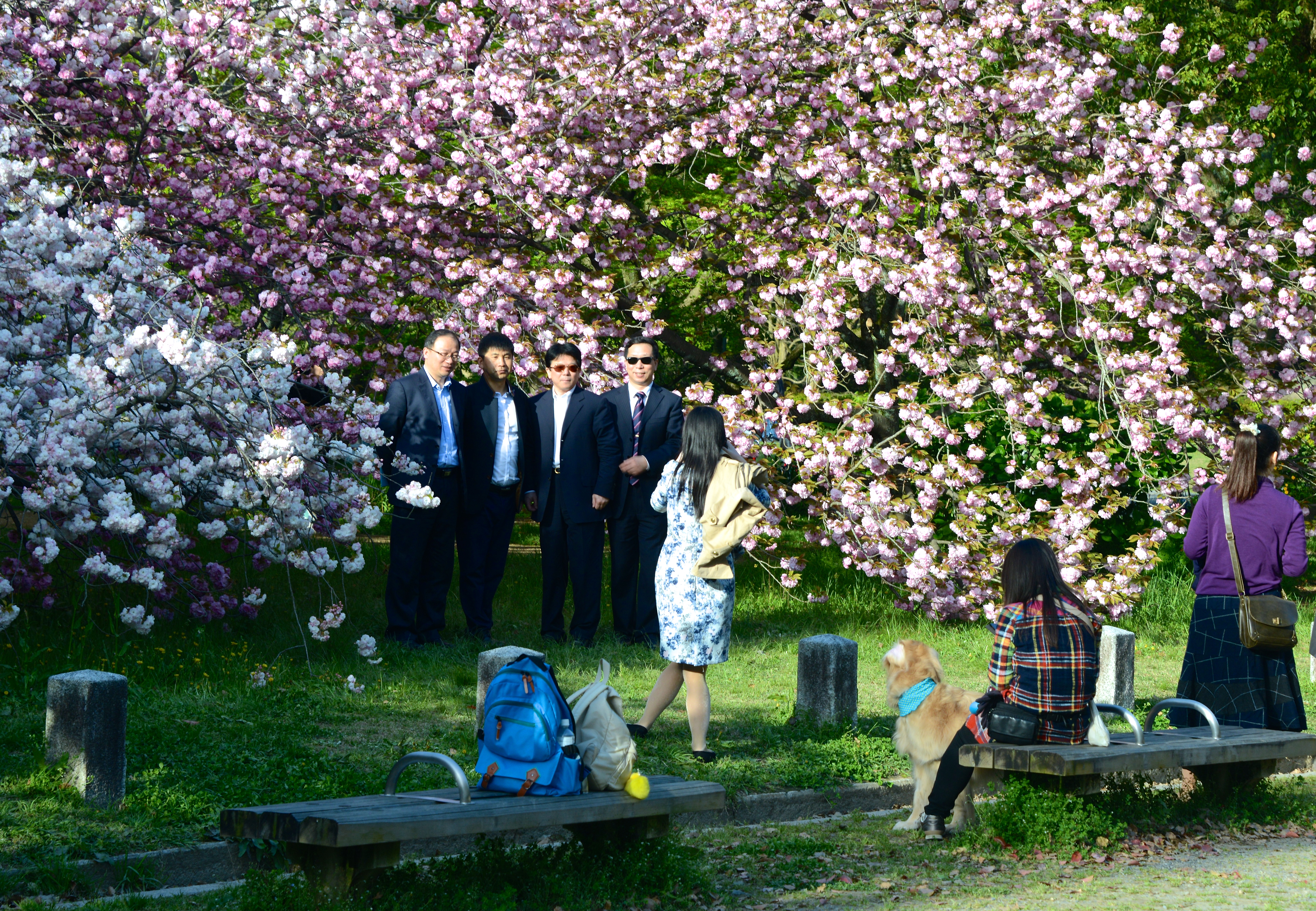 businessmen photographed in front of cherry blossoms